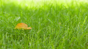 Autumn leaf on green grass field slow dolly movement Stock Image