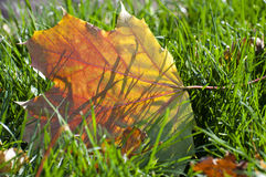 Autumn leaf on green grass stock photography