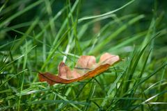 Autumn leaf on green grass, macro. Soon autumn. Autumn leaf on green grass, macro. Soon yellow autumn royalty free stock images