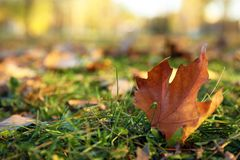 Autumn leaf on green grass in park. Space for text stock photos