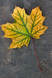 Autumn leaf, green, yellow and orange color, isolated on dark ce stock photography