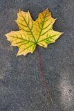Autumn leaf, green, yellow and orange color, isolated on dark ce Royalty Free Stock Image
