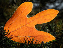Autumn leaf on the ground. With sun light coming thru Royalty Free Stock Images