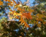Autumn leaf. Stock Images