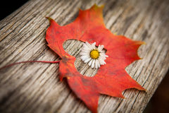 Autumn leaf heart. An autumn leaf with heart shaped cutout and flower Stock Photography