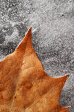 Autumn Leaf on Ice. Autumn leaf frozen in ice on black background photographed in studio royalty free stock image