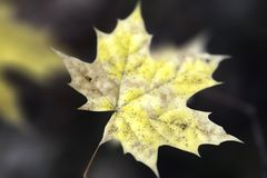 An autumn leaf stock images