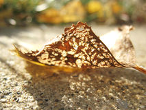 Autumn Leaf Insect Damage Imagenes de archivo