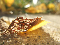 Autumn Leaf Insect Damage Royalty Free Stock Images