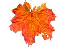 Autumn leaf isolated Royalty Free Stock Photos