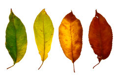 Autumn leaf isolated Royalty Free Stock Photos