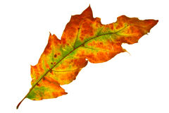 Autumn leaf isolated. On a white background Royalty Free Stock Image