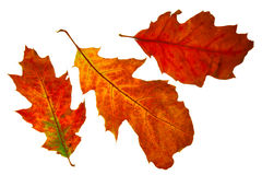 Autumn leaf isolated Stock Images