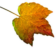 Autumn leaf isolated. On a white background Stock Photos