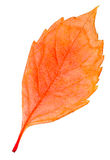 Autumn leaf isolated collection Royalty Free Stock Photography