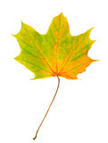 Autumn leaf isolated Royalty Free Stock Images