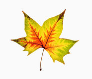 Free Autumn Leaf - Isolated On White Royalty Free Stock Photo - 85475205