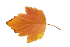 Autumn leaf isolated over white background Stock Photos