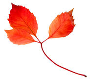 Autumn leaf isolated Stock Image