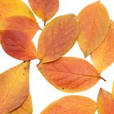 Autumn leaf isolated  white Royalty Free Stock Photography