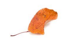 Autumn leaf isolated white Stock Photos