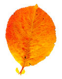 Autumn leaf. Isolated on a white background Stock Images