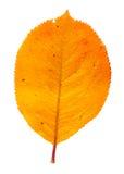 Autumn leaf. Isolated on a white background Stock Image