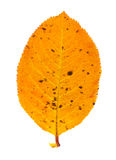 Autumn leaf. Isolated on a white background Royalty Free Stock Photos