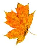Autumn leaf. Isolated on a white background Stock Photo