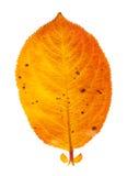 Autumn leaf. Isolated on a white background Stock Photos
