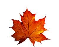 Autumn leaf. Isolated on white background Royalty Free Stock Image