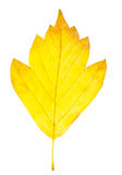Autumn leaf  isolated Royalty Free Stock Photography