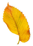 Autumn leaf isolated Royalty Free Stock Photo