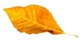 Autumn leaf isolated royalty free stock image