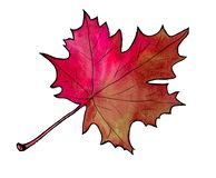 Autumn leaf, isolated on white background. Simple cartoon flat style. Watercolor hand drawn Illustration royalty free illustration
