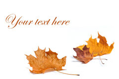Autumn leaf isolated on white background. Stock Photo