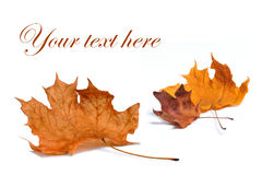 Autumn leaf isolated on white background. Royalty Free Stock Photo