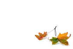 Autumn leaf isolated on white background. Royalty Free Stock Images