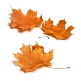 Autumn leaf isolated on white background. Stock Photo