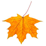 Autumn leaf isolated on white background. Royalty Free Stock Photos