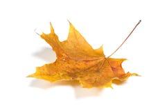 Autumn leaf isolated on white background. Stock Image