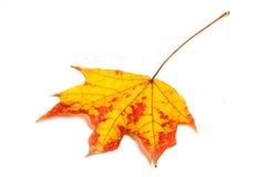 Autumn leaf isolated on white background. Royalty Free Stock Photography