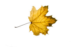 Autumn leaf isolated on the white background Stock Images