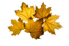 Autumn leaf isolated on the white background Royalty Free Stock Images