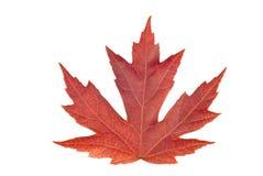 Autumn Leaf Isolated On White grande Imágenes de archivo libres de regalías