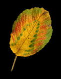 Autumn leaf of a Japanese rose, top surface Stock Images