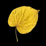 Autumn leaf of large-leaved linden, under-surface Royalty Free Stock Images