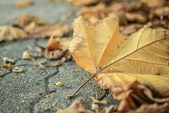 Autumn, Leaf, Leaves Royalty Free Stock Image