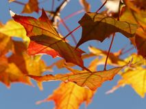 Autumn, Leaf, Leaves, Maple Stock Photos