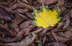 Autumn leaf lies on the ground in city park Royalty Free Stock Image